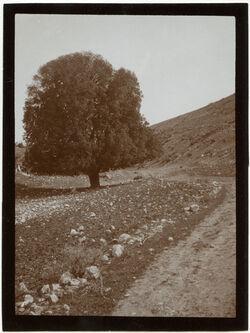Fotografie Hl. Eiche (el-menase) südl. v. nu