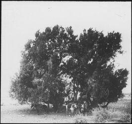 Glasplattendia Tamarisken von Gilgal