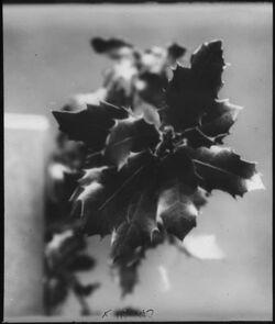 Glasplattendia [Ilex (Stechpalme)]