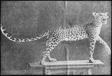 Glasplattendia Leopard, geschossen bei Betur 1910