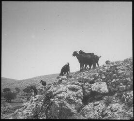 Glasplattendia Ziegen bei Hebron,Weg zur Eiche