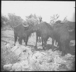 Glasplattendia Büffel bei Kalonie [Kaloonie]