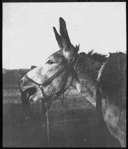 Glasplattendia Schreidender Esel bei ez-zip abu zerka im Zeltlager