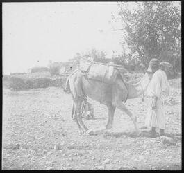 Glasplattendia Niederkniendes Kamel [Palästina]