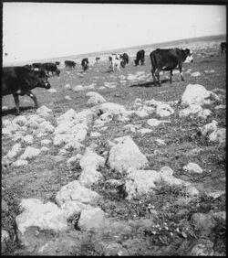 Glasplattendia Rinder bei der Jakobsbrücke [Jordan]