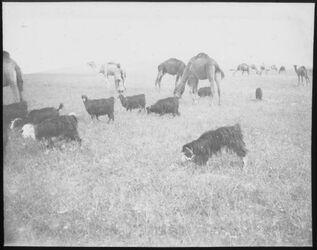 Glasplattendia Kamele u. Ziegen bei Beersaba [Beersheba]