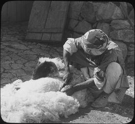 Glasplattendia Shearing Sheeps [Schafescheren, Palästina]