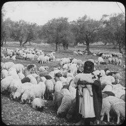 Glasplattendia Sheep and their Sheperd [Schafherde, Hirte, Palästina]