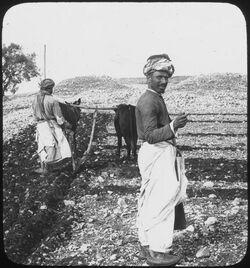 Glasplattendia Sowing [Aussaat] [Palästina]
