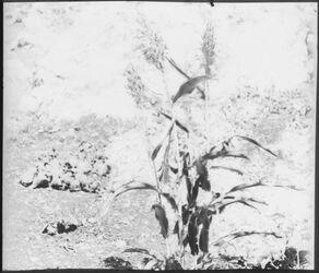 Glasplattendia [Vegetation, Palästina]