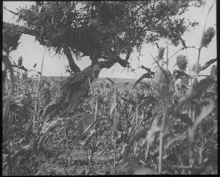 Glasplattendia Durra u. Wächterhütte auf Ölbaum