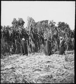 Glasplattendia Zuckerrohr in Egypten [Ägypten]