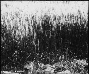 Glasplattendia auf das gute Land Mt 13,8 [Gleichnis vom Sämann]