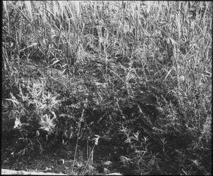 Glasplattendia Unter die Dornen Mt. 13,7 [Gleichnis vom Sämann]