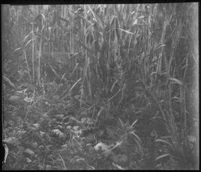Glasplattendia Normaler Weizen, steiniges Land