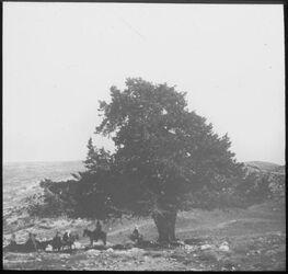 Glasplattendia Cypressus orient. Bei en elfatat [En el-fatat]