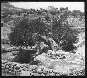 Glasplattendia Kidrontal Iasaiasbaum, alter Maulbeer-Baum, Jesajasbaum u. Zionshügel
