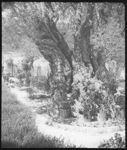 Glasplattendia Gethsemane [Jerusalem]