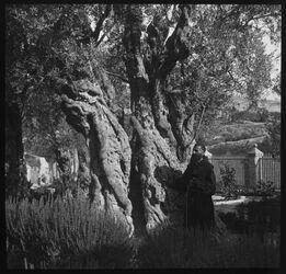 Glasplattendia Garten Gethsemane alter Ölbaum [Jerusalem]