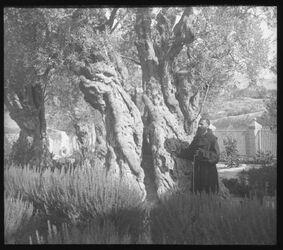 Glasplattendia Ölbäume in Gethsemane