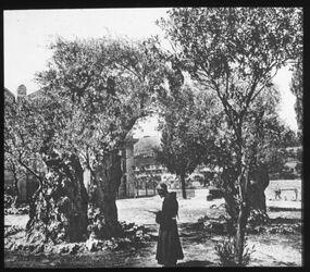 Glasplattendia Garten Gethsemane [Jerusalem]