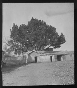 Glasplattendia Sykomore in Jericho