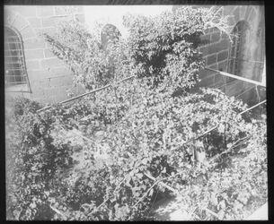 Glasplattendia Ostapside Citronenbaum des Hieronymus hinter der Geburtskirche Bethlehem .