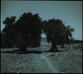 Glasplattendia Hirtenfeld, Oliven [Bethlehem, Umgebung]