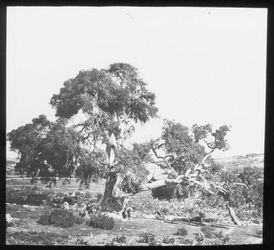 Glasplattendia Abrahmseiche in Hebron