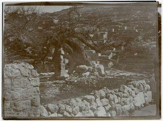 GDIp03338; Fotografie; Jesajabaum. Alter Maulbeerbaum beim roten Teich [Käsemachertal], in Bestand von rund 5.000 nach Themen und Orten sortierten Kleinbildabzügen