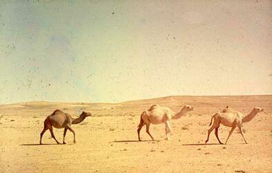Dia Kamele am St. Amman-Maan (Dromedare)