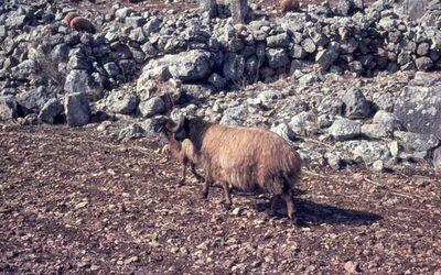 Dia Fettschwanz-Schaf