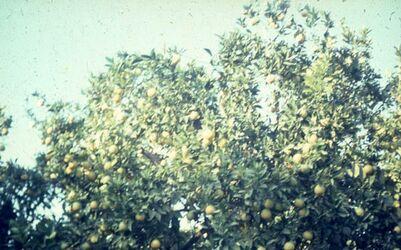 Dia Orangen-Baum [wohl bei Sidon]