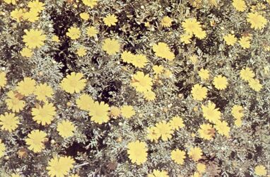 Dia [Masada, es-sebbe] Blumen nach dem Regen