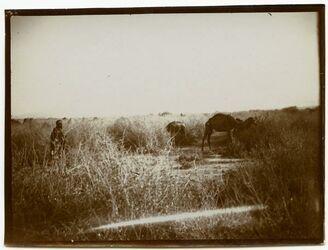 Fotografie bei Jericho. Kamelherde in Ror.