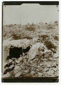 Fotografie Urzinen maitima, 126 cm hoch [Rest unleserlich, evtl. Aufnahme nahe dem Aussätzigenasyl Jerusalem]