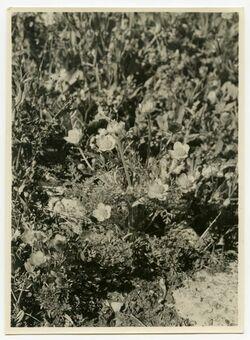 Fotografie Ranunculus nierosolymitanus Boiss., Buttercups
