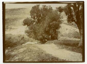 Fotografie Eiche von W. […] n. Nablus