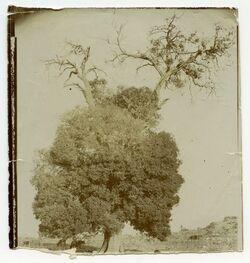 Fotografie Joshuas Oak at Tibney, i. e. Zininath Sereh. Tibne