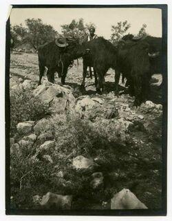 Fotografie Jaffastr. Büffel