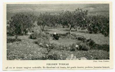 Fotografie Fikonen Torkas [Feigen]