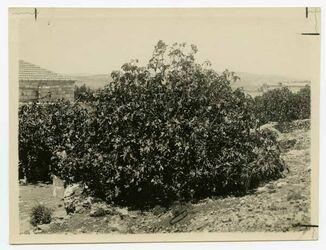 Fotografie Feigenbaum östl. v. Asyl [Jerusalem] l