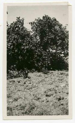 Fotografie Feigenbaum und Weinstock bei ramet el-chalil