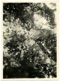 Fotografie Sykomore mit Früchten