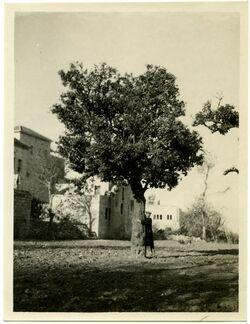 Fotografie Bittre Apfelsinenäume. Citrus Bigaradia