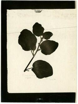 Fotografie Sykomore. Blattlänge bis 11 cm