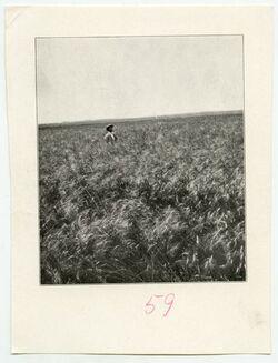 Fotografie [Weizenfeld in der Küstenebene]