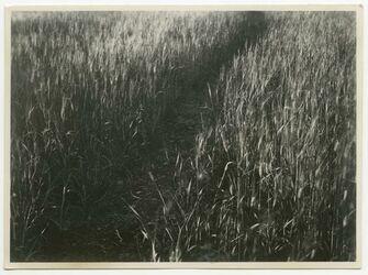GDIp01999; Fotografie; Weg im Weizenfeld (el-bak'a), in Bestand von rund 5.000 nach Themen und Orten sortierten Kleinbildabzügen