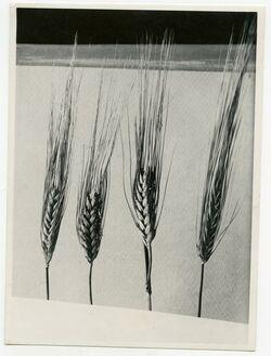 Fotografie Weizen u. Gerste. Weizen in d. Mitte [Ähren aus el-bak