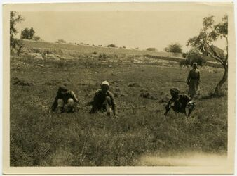 Fotografie Ernte von kirsenne unterhalb des Asyls [Aussätzigenasyl, Jerusalem]
